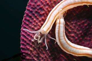 synaptula , a holothurian ( sand gobbler family)