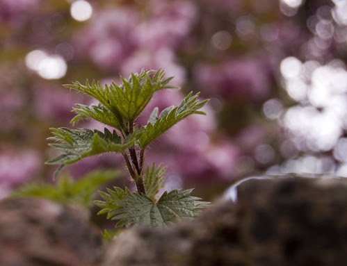 Bramble on wall, Bokeh
