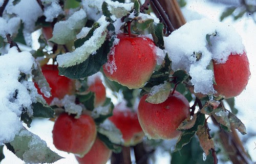 Apple & Snow