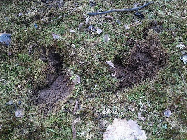 DSC_0175 wild boar prints