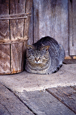 Gray Tiger Cat on the Porch of Penn's Store, Casey County, Kentucky (on the Boyle County Line)