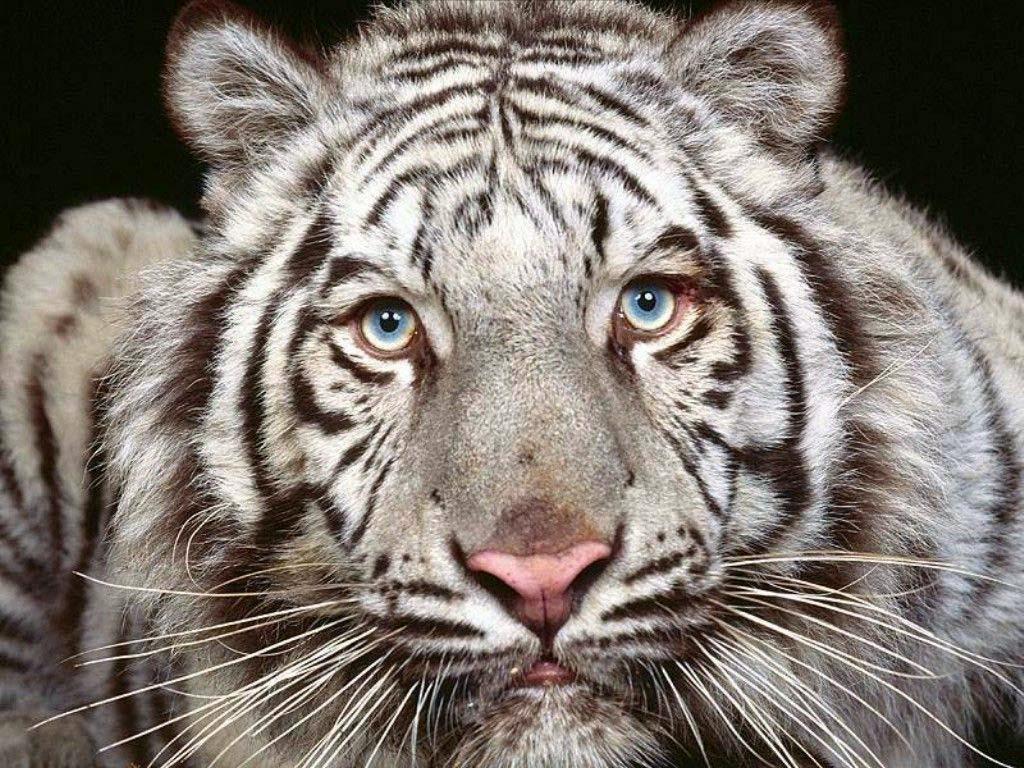 Free Animal Wallpaper Of Tiger | Free Wallpaper World