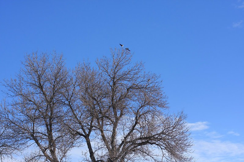 magpies, trees, blue skies - oh my!