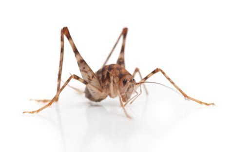 Cricket Treatment   RID Pest Control