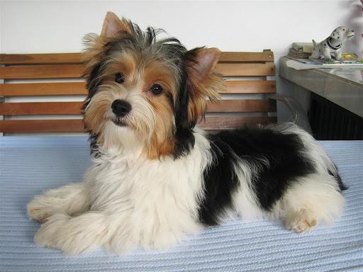 Biewer Yorkshire Terrier Haircuts Yorkie Haircuts