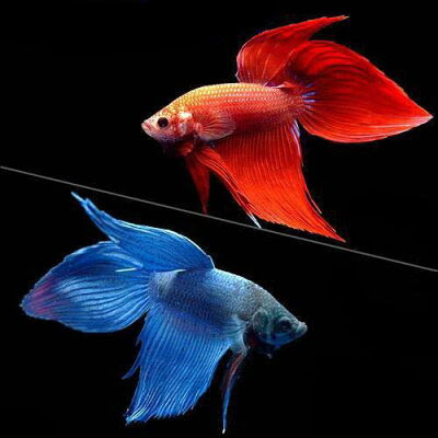 (熱帯魚)ベタ・トラディショナル 赤系+青系 2種セット(オス)(2匹)(各種1匹) 北海道・九州航空便要保温