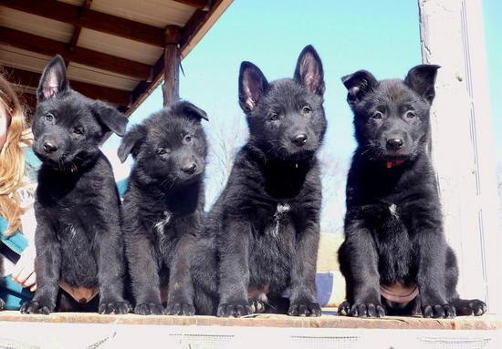 Buy Black German Shepherd Puppy For Sale In Turkey