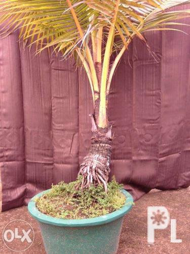 Bonsai Coconut Tree Price Bonsai Tree