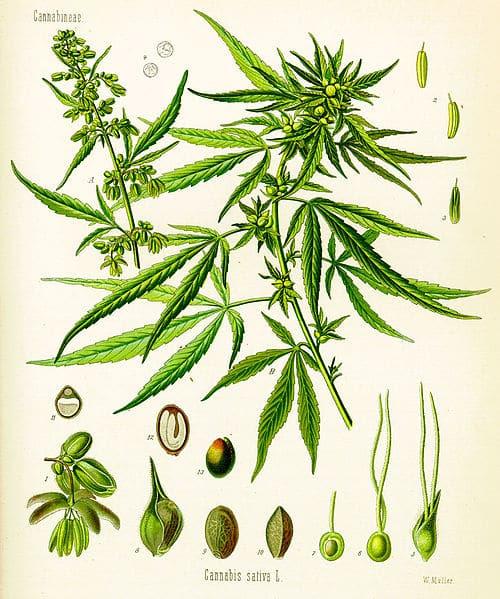 500px-Cannabis_sativa_(Köhler)