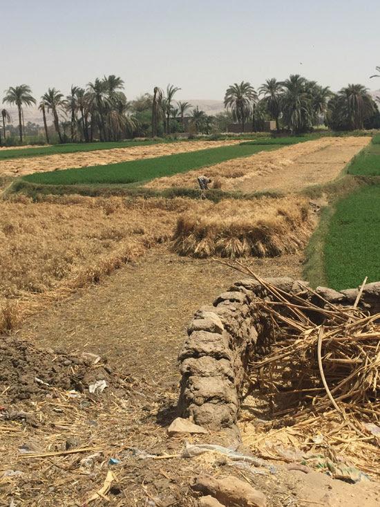 محصول القمح باسيوط (5)