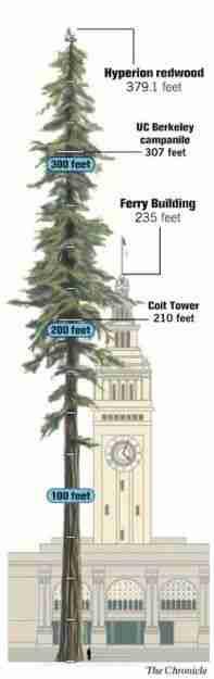Hyperion, το ψηλότερο δέντρο στον κόσμο!
