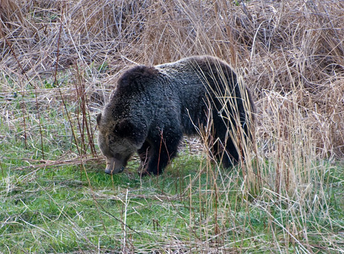 Foraging Grizzly
