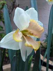 Daffodil with a pale center