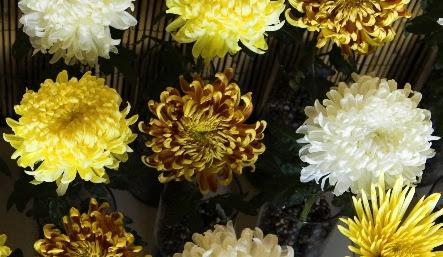 Festival Celebrates The Chrysanthemum Oregonlivecom