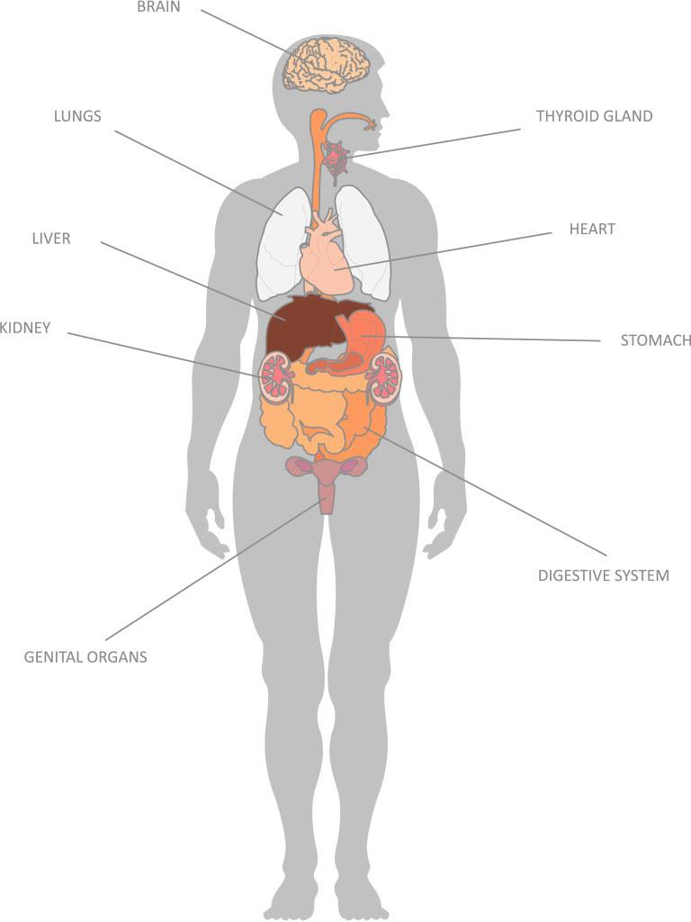 Internal Organs and their Functions - KidsPressMagazine.com