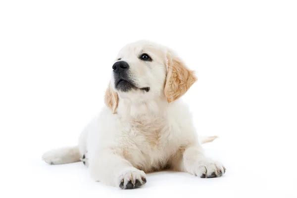 golden retriever puppy wallpaper. cute golden retriever puppies