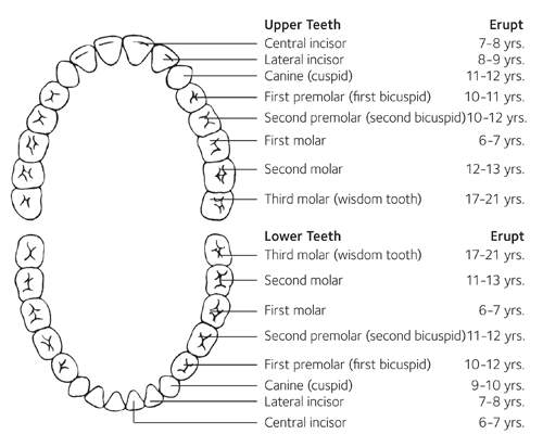 Baby Teeth Eruption Charts - American Dental Association