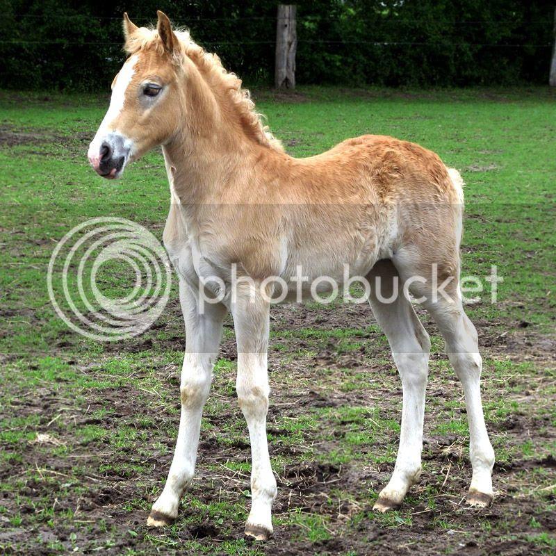 Foal of Haflinger Horse like Prometea