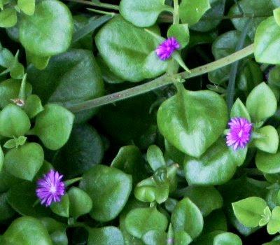 20060225-vs-8532 Apténia - Aptenia cordifolia