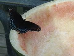 watermelon butterfly by Teckelcar