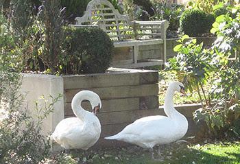 trex white swan