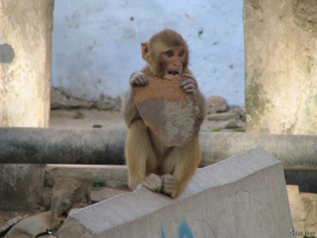 Monkey Eating Cake Like Object In Bundi