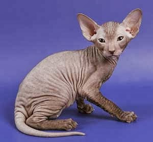 Kucing memang salah satu binatang peliharaan yang memang banyak dibicarakan  sebagai mitos an 5 Bentuk Kucing Paling Aneh di Dunia
