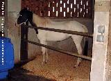 Singapore Riding pony