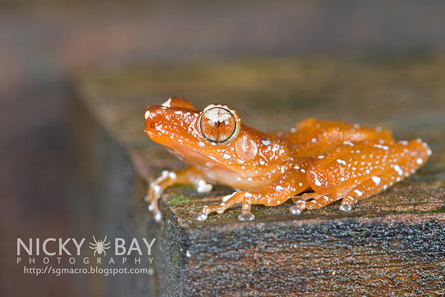 Spotted Tree Frog (Nyctixalus pictus) - DSC_6293