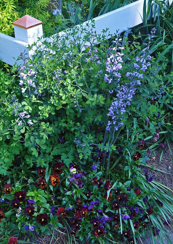 Baptisia 'Purple Smoke' (2)