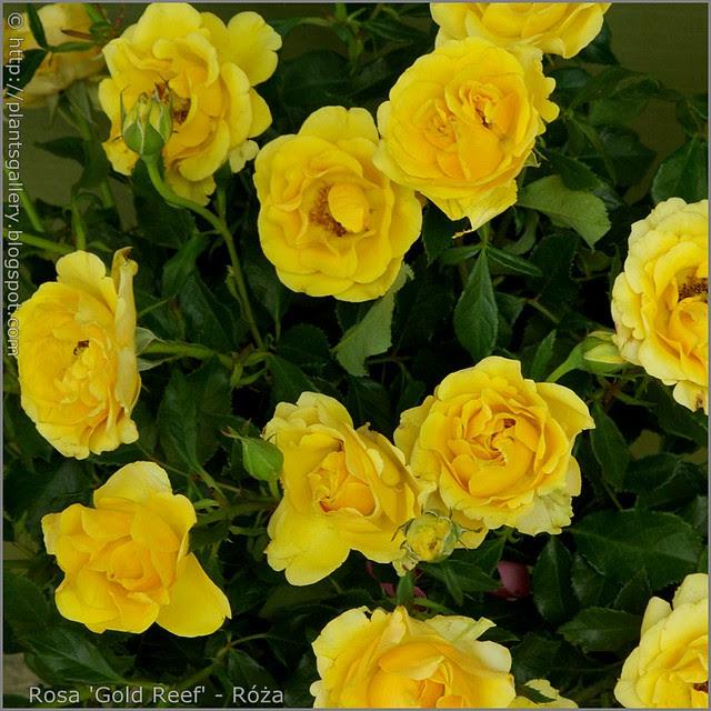 Rosa 'Gold Reef' - Róża 'Gold Reef'