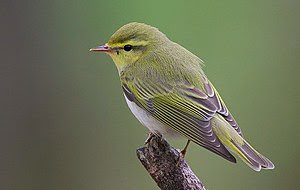 These are common birds of Atlantic Oak forest ...