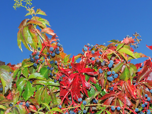 Virginia Creeper Fooled into Fall
