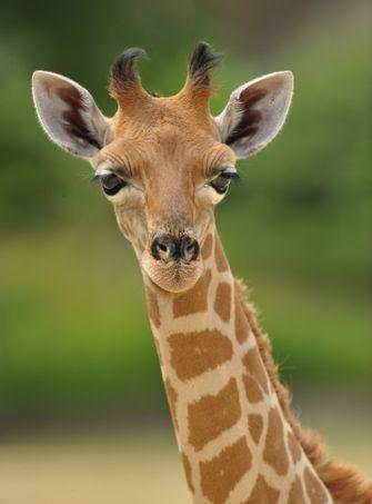 Adeline la girafe s'est forgée une réputation de casse-cou et de curieuse aventurière. Les responsables du zoo parient sans problème sur son succès.