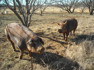 Duroc Gilt Missy and Boar Wilbur