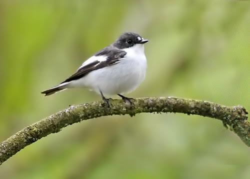 Pied Flycatcher. Male