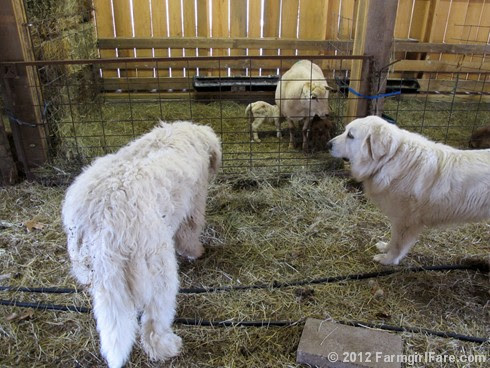 Farm dogs and little lambs 5 - FarmgirlFare.com
