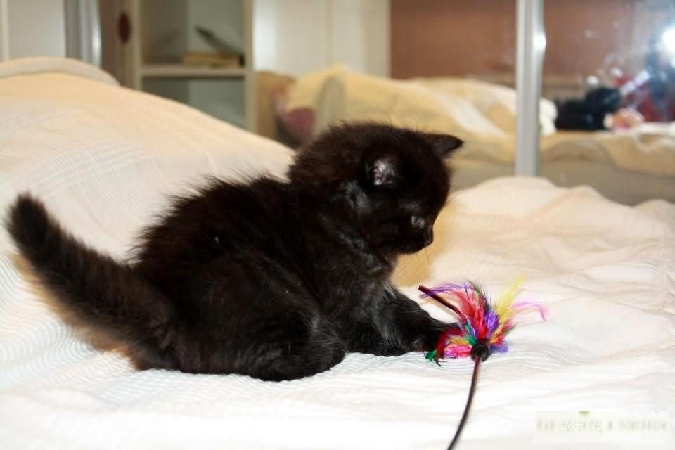 Syberyjski Kot Czarny