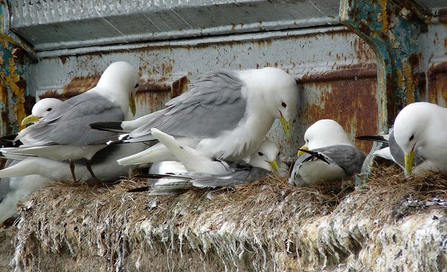 24462 - Kittiwake, Mumbles Pier