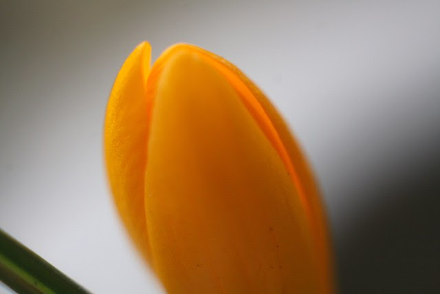 orange crocus bud