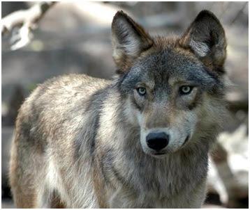 Cuestionario Sobre Los Lobos Lobopedia