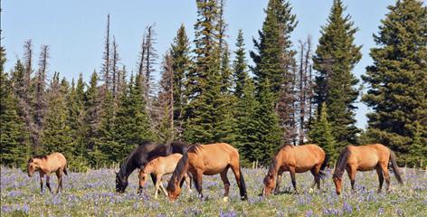 Horses graze at the Pryor Mountain Wild Horse Range in Montana, the USA's first public wild horse range.