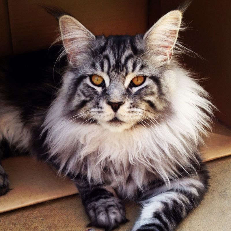 Beeindruckend Maine Coon Katzen In Wunderschonen Bildern