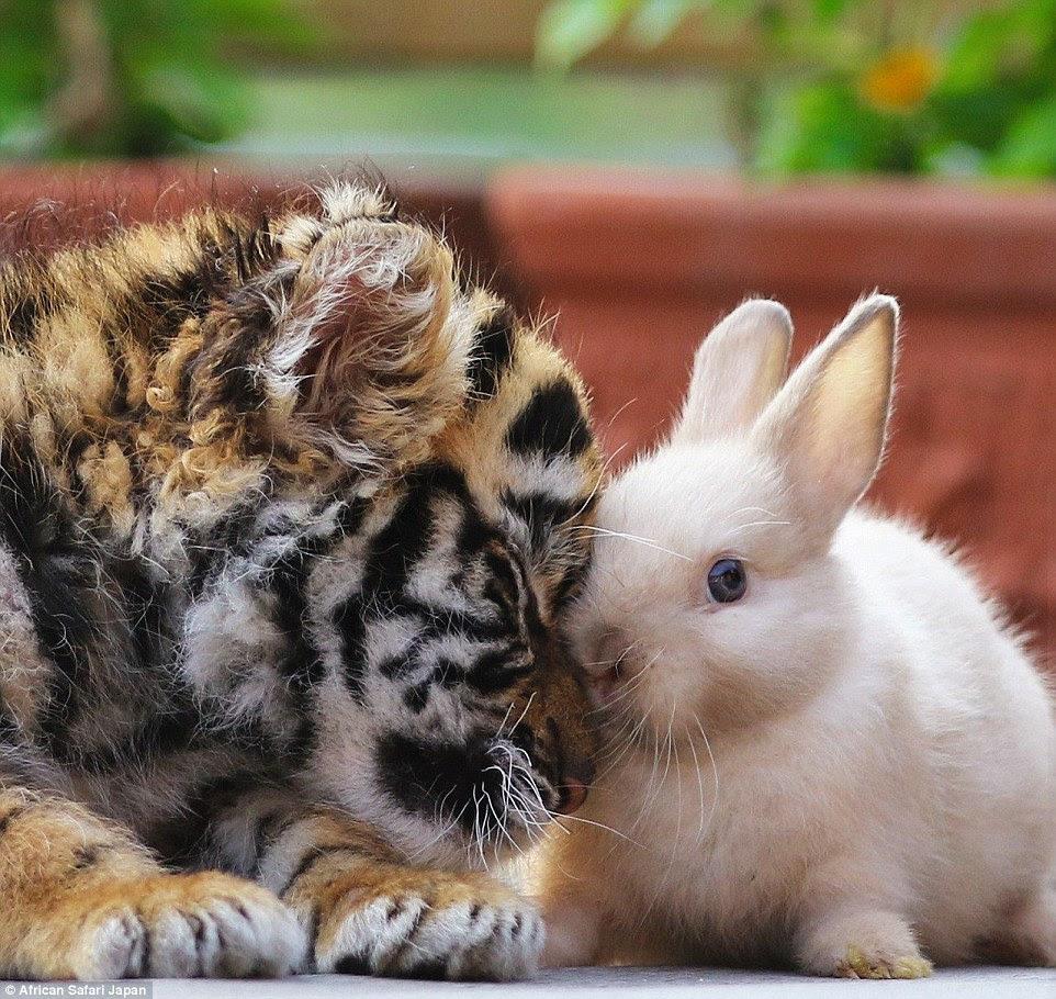 As imagens reveladoras mostrar como os animais ainda têm de ganhar seus instintos animais.  Acima, o filhote de tigre aconchega-se a um coelho no jardim zoológico