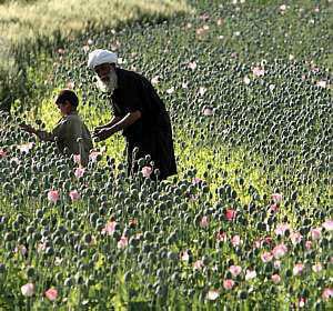 Criação de papoulas no Afeganistão