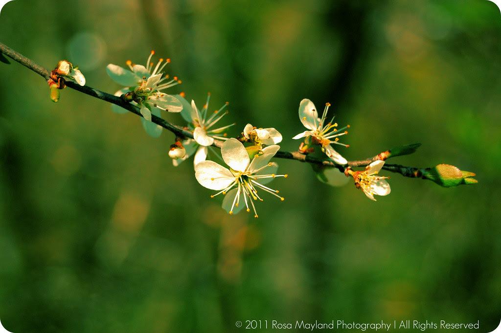 Cannelés Cherry Blossom 1.2 bis