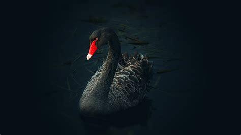 black swan chromebook wallpaper ready