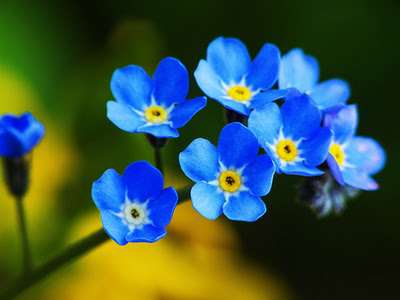Flowers Images Blue Forget Me Not Wallpaper And Background Photos