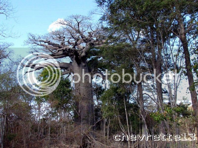 http://i1252.photobucket.com/albums/hh578/chevrette13/Madagascar/IMG_2026Copier_zpse8d349d3.jpg
