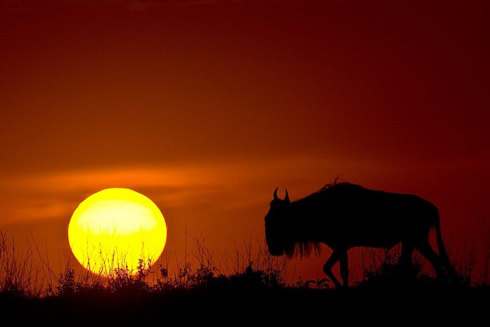 Антилопа гну на фоне заката